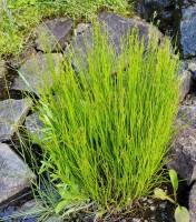 Orange Grass (Hypericum gentianoides)