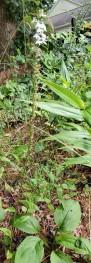 Pale Spike Lobelia (Lobelia spicata) Plant