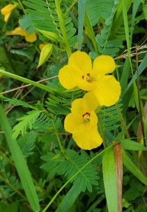 Partridge Pea (Chamaecrista fasciculata) Bloom