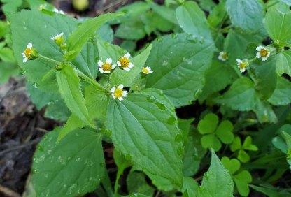 Peruvian Daisy; Quickweed (Galinsoga quadriradiata*)