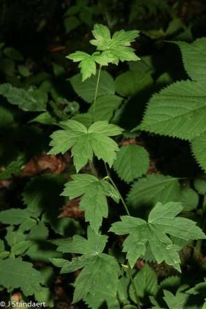 Possibly Monkshood (Aconitum uncinatum)