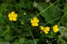 Possibly Tall Buttercup (Ranunculus acris*)