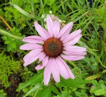 Purple Coneflower (Echinacea purpurea) Bloom