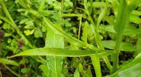 Purple-headed Sneezeweed (Helenium flexuosum) Leaf and Stem