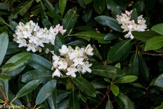 Rosebay; Great Laurel (Rhododendron maximum)