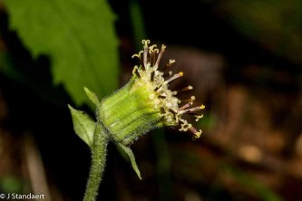 Rugel's Indian Plantain (Rugelia nudicaulis)