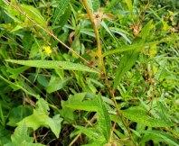 Seedbox (Ludwigia alternifolia) Stem