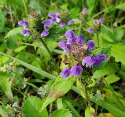 Self Heal; Heal All (Prunella vulgaris)