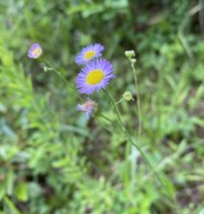 Smaller Daisy Fleabane (Erigeron strigosus var, strigosus)