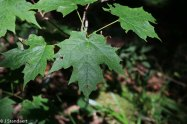 Southern Sugar Maple (Acer saccharum v. saccharum)