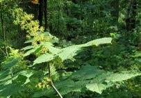 Spikenard (Aralia racemosa)