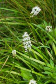 Sticky Asphodel (Triantha glutinosa) (2)