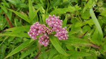 Swamp Milkweed (Asclepias incarnata) Bloom