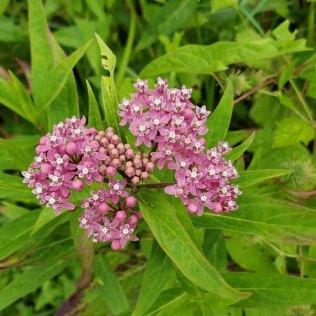 Swamp Milkweed (Asclepias incarnata) Bloom