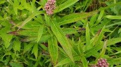 Swamp Milkweed (Asclepias incarnata) Leaves