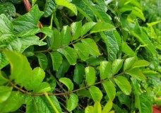 Trumpet Creeper (Campsis radicans) Leaves