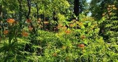 Flock of Turk's Cap Lily (Lilium superbum)