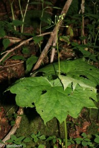 Umbrella Leaf (Diphylleia cymosa)