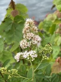 White Meadowsweet (Spiraea alba var. latifolia)