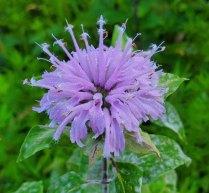 Wild Bergamot (Monarda fistulosa) Bloom