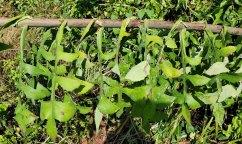 Wild Lettuce (Lactuca canadensis) Stem & Leaves