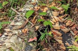 Polypore Mushroom Log