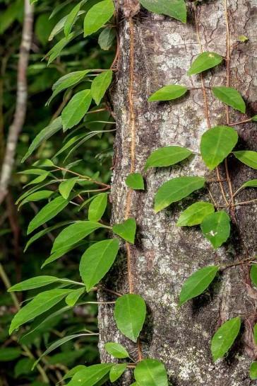 Woodvamp, Climbing Hydrangea (Decumaria barbara)