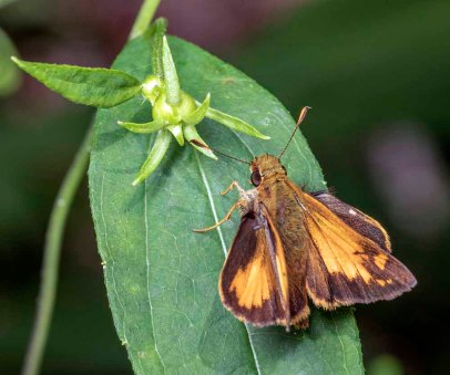 Zabulon Skipper Butterfly (Poanes zabulon)