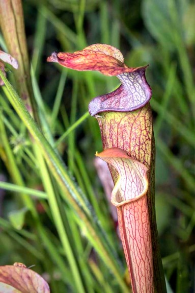 Sweet Pitcher Plant (Sarracenia rubra ssp. jonesii)