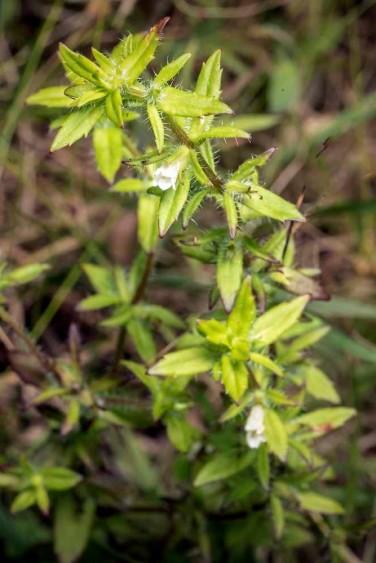 False Pimpernel (Lindernia dubia)