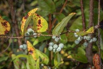 a Greenbrier (Smilax sp.) Fruit