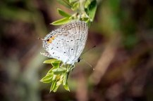 Female Eastern Tailed-Blue Butterfly (Everes comyntas)