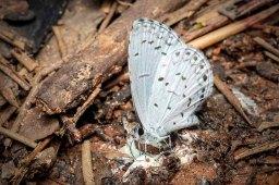 Summer Azure Butterfly (Celastrina neglecta)