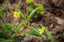 Lance-leaved Loosestrife (Lysimachia lanceolata)