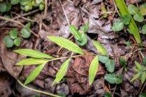 Japanese Stiltgrass (Microstegium vimineum*)