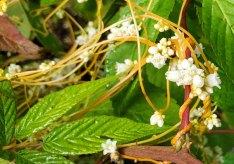 a Dodder (Cuscuta sp.)