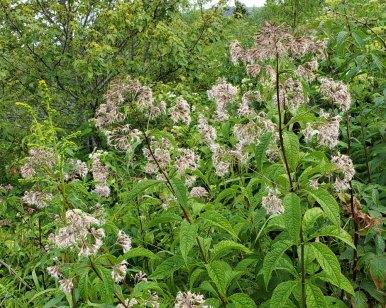 Several Joe-Pye-Weed (Eutrochium sp.)