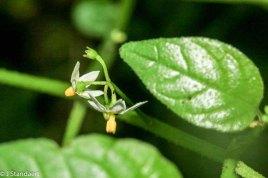 a Nightshade (Solanum sp.)