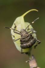 Beetle on Baptisia tinctoria seedpod