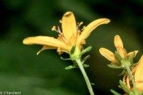 Broad-leaved Coreopsis (Coreopsis latifolia)