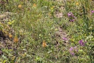 Carolina Phlox (Phlox carolina) and Yellow Fringed Orchid (Platanthera ciliaris)