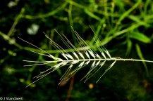 Common Bottle-brush Grass (Elymus hystrix var. hystrix)