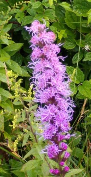 Dense Blazing Star (Liatris spicata)