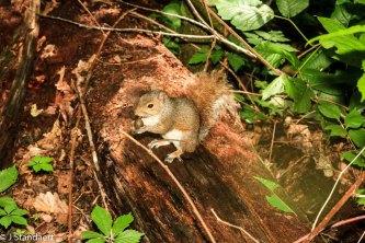 Eastern Gray Squirrel (Sciurus carolinensis) & Quercus sp. Fruit