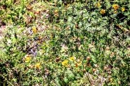 Fern-leaved False Foxglove (Aureolaria pedicularia)