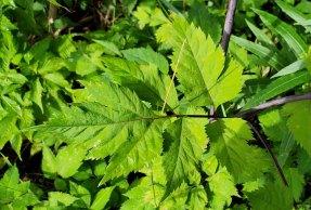 Filmy Angelica (Angelica triquinata) - Leaf