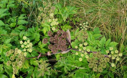 Filmy Angelica (Angelica triquinata) - Blooms & Fruit