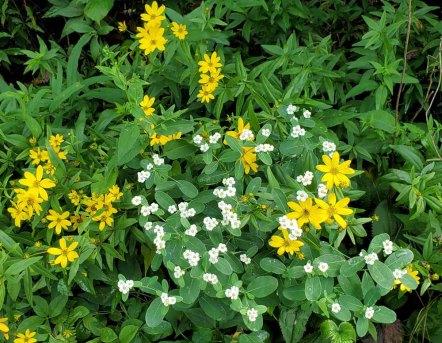 Greater Tickseed (Coreopsis major) & Flowering Spurge (Euphorbia corollata)