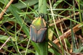 Green June Bettle (Cotinus nitida)