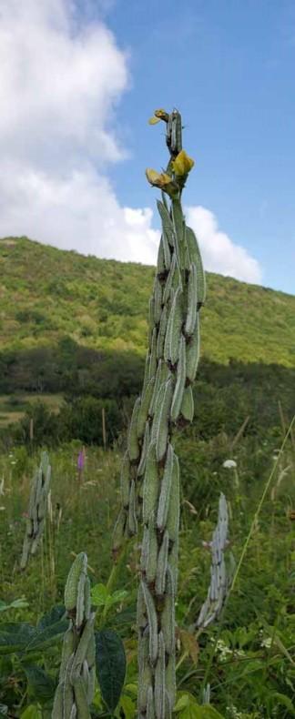 Hairy Bush Pea (Thermopsis villosa) - Fruit
